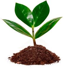 semente